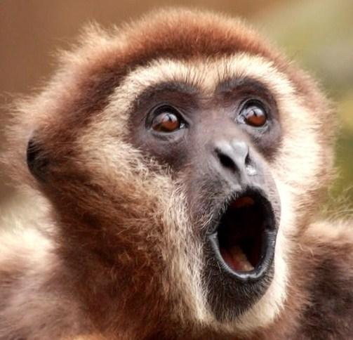Gibbon Monkey Trolls Two Tigers (Video) | Third Monk
