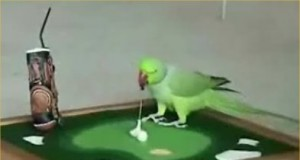 Amazing Bird Can Play Golf and Basketball (Video)   Third Monk