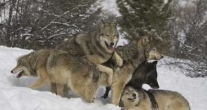 Joe Rogan - Ex-Boyfriends Are Hungry Wolves (Video) | Third Monk