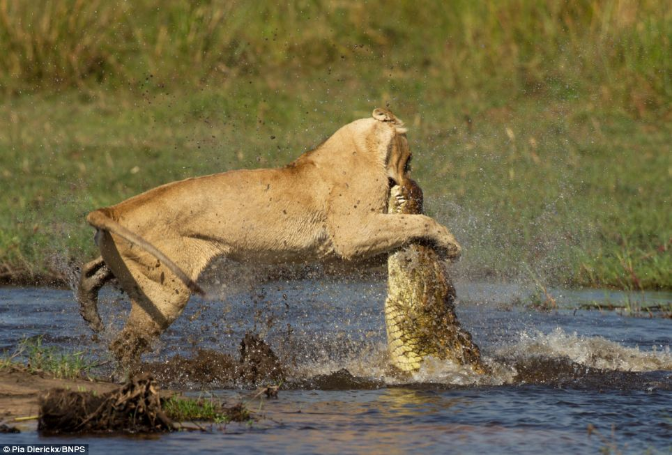 Lioness vs Crocodile