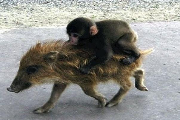 monkey-rides-pig-1