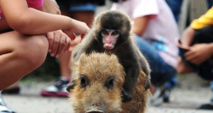 Baby Monkey Rides a Wild Pig, Backwards (Video) | Third Monk image 2