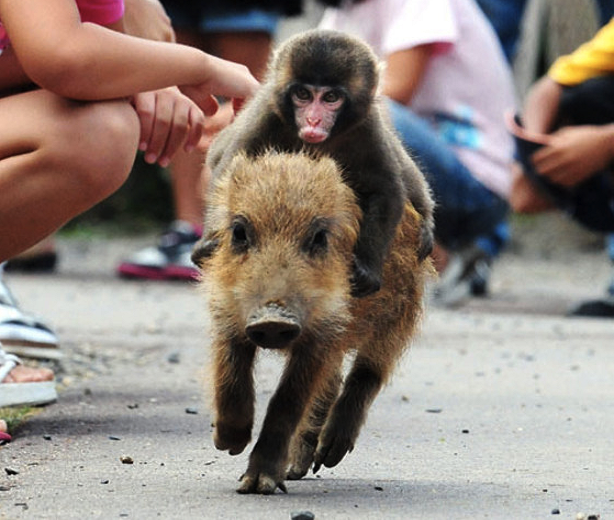 baby monkey rides a wild pig, backwards (video) - karma jello