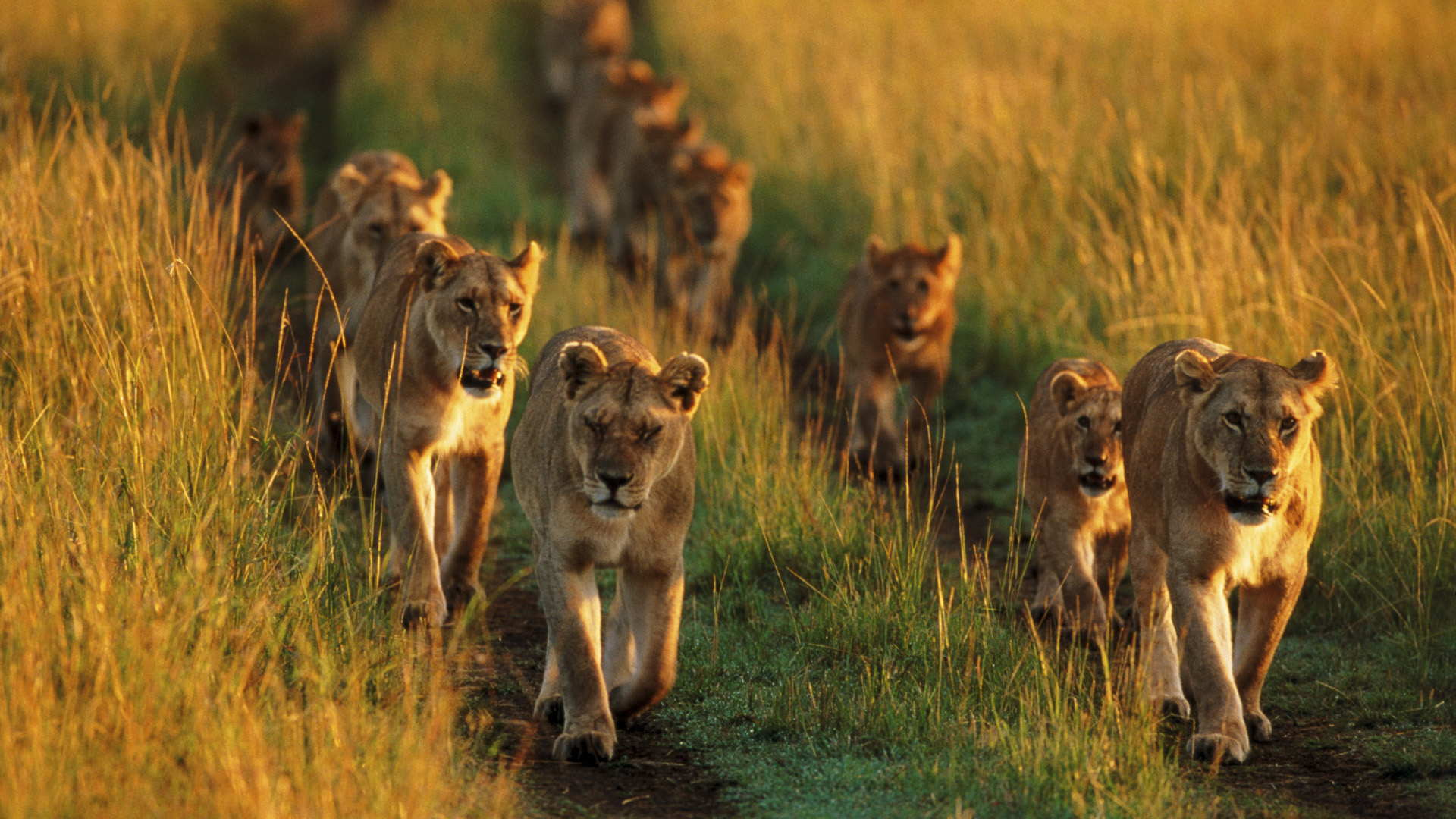 animal-sunset-photo-gallery-lion-pride