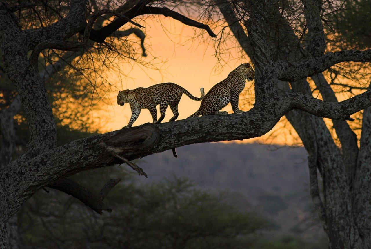 animal-sunset-photo-gallery-lions-tree