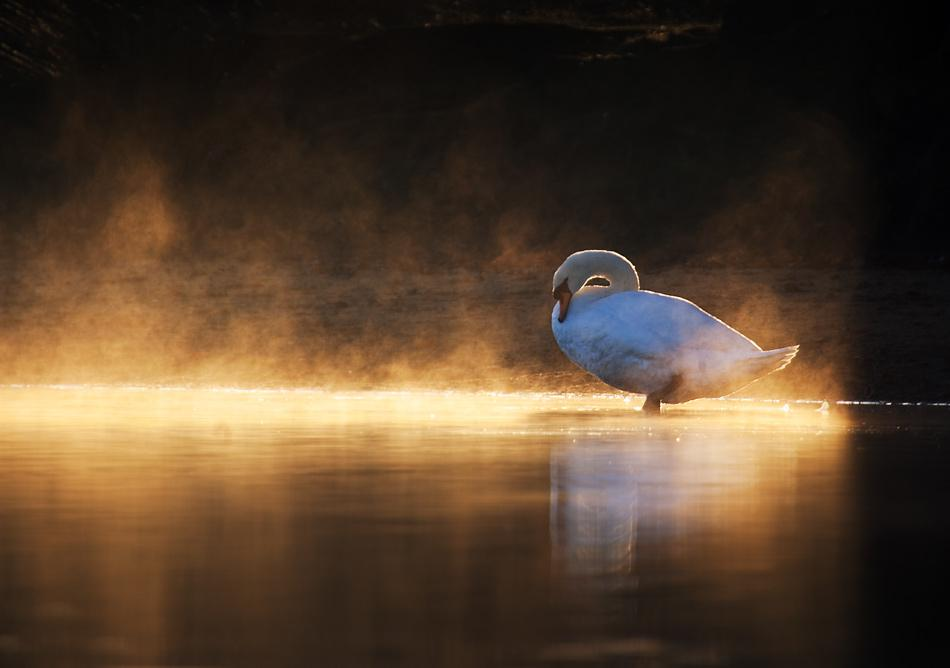 animal-sunset-photo-gallery-swan