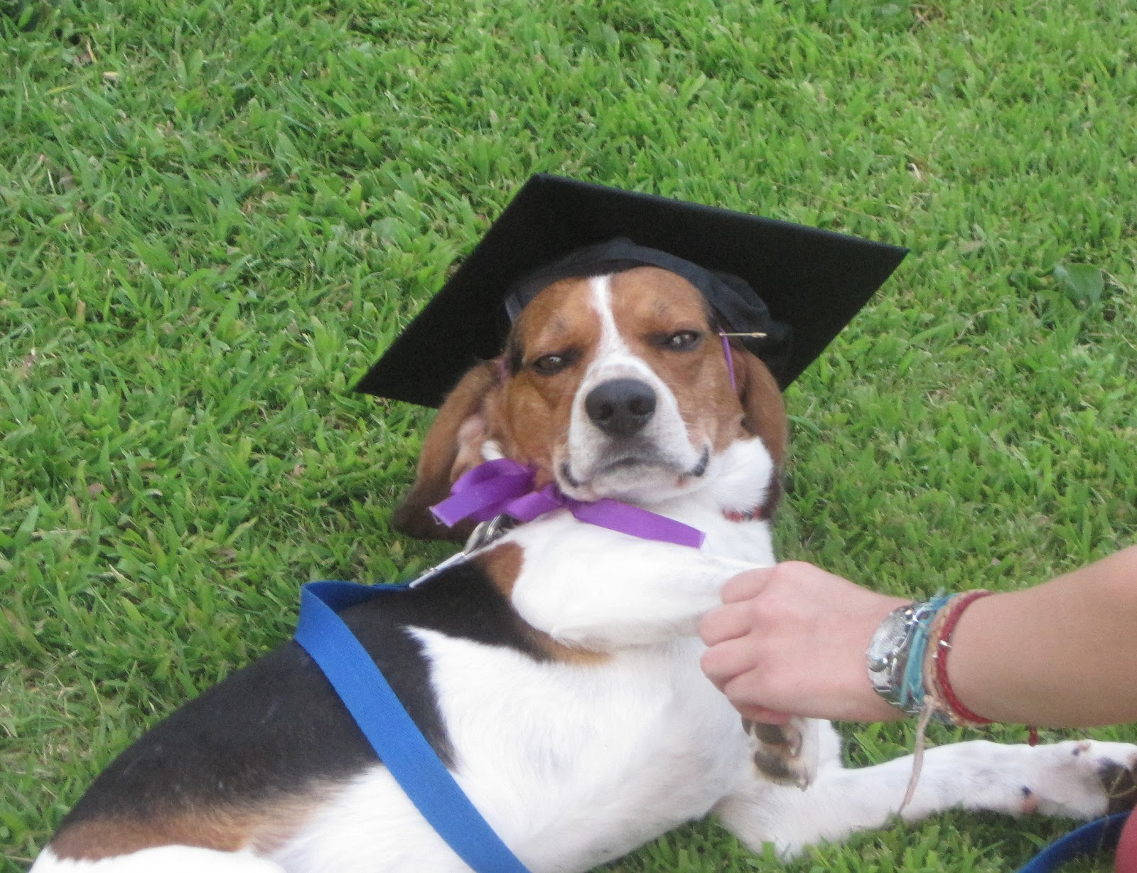 stoner-dogs-photo-gallery-beagle-graduate
