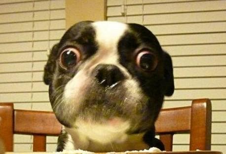 stoner-dogs-photo-gallery-boston-terrier