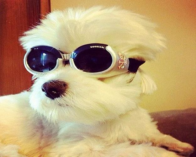 Animals with sunglasses - photo#19
