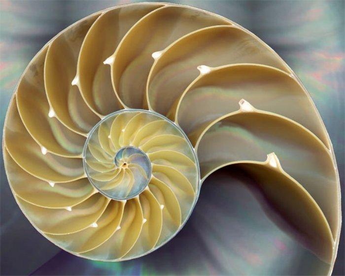 nautilus shell fibonnaci