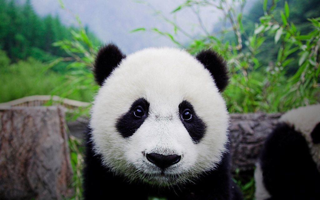 Panda-face_gp
