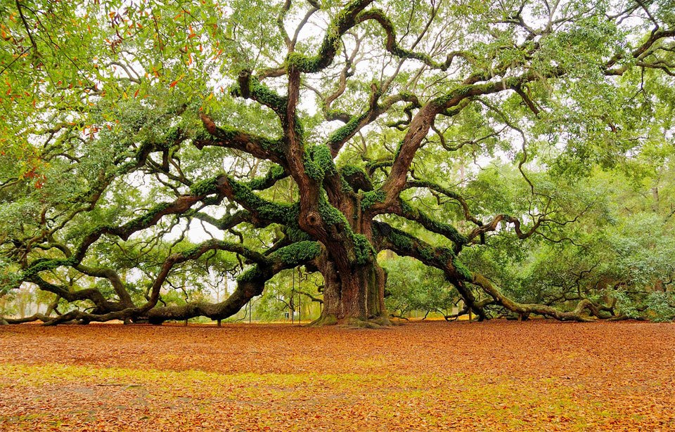 Amazing angel oak tree, Charleston. Photo by: Mark Requidan