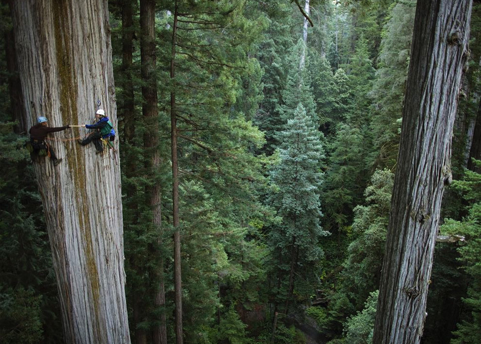 trees - 750-years-old-sequoia-tree