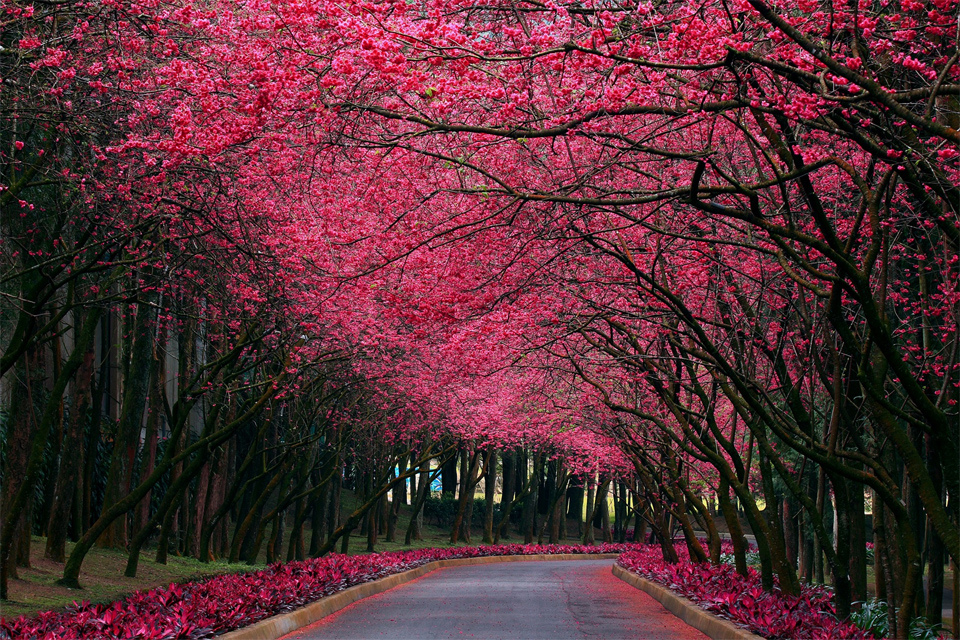 Beautiful cherry blossom road. Photo by: unknown