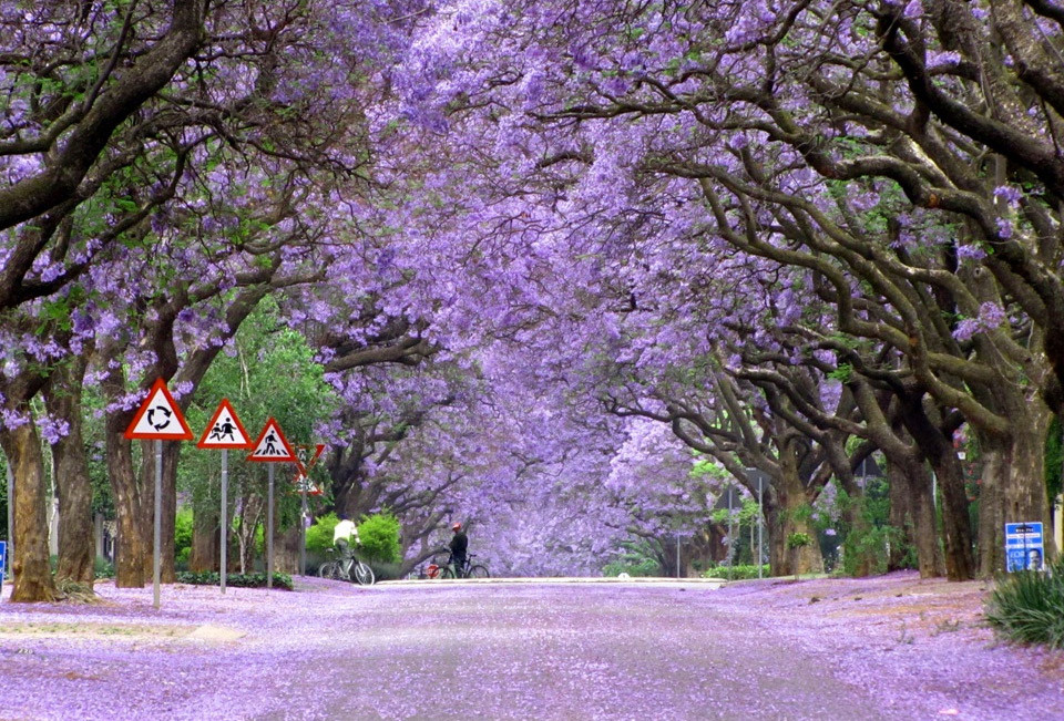 Jacaranda trees in bloom, South Africa. Photo by: Falke