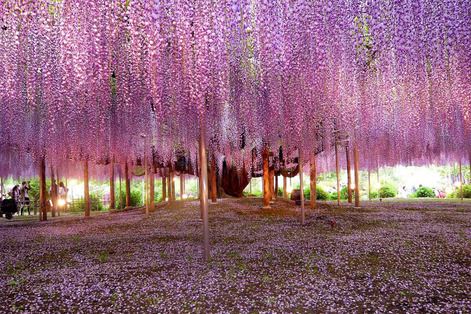 Most beautiful wisteria tree in the world. Photo by: Brian Young