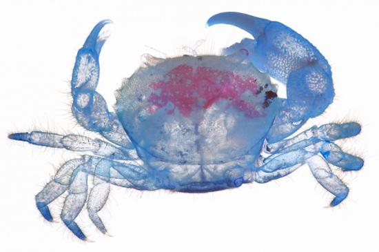 crab-iori-tomita