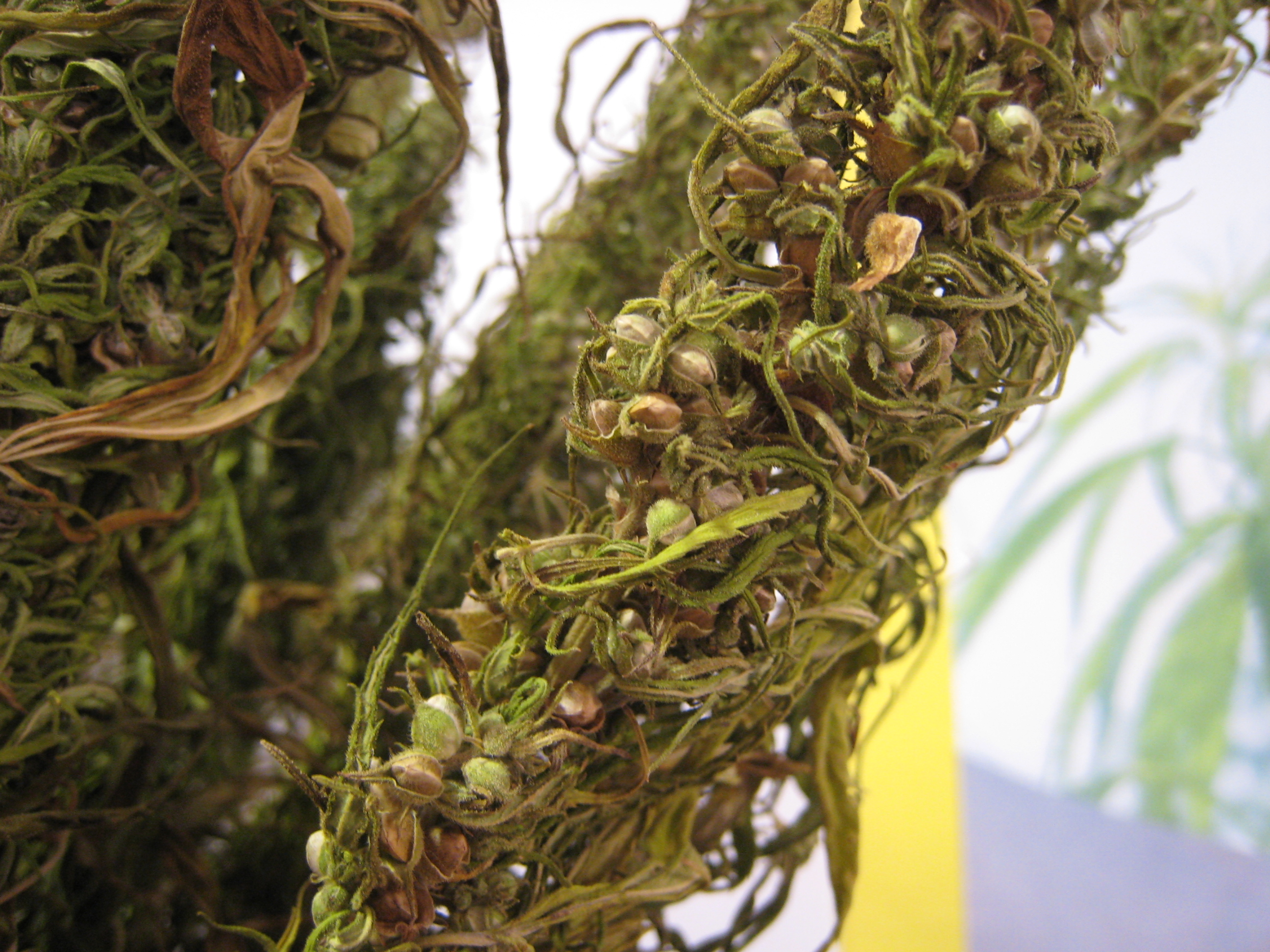hemp-with-seeds