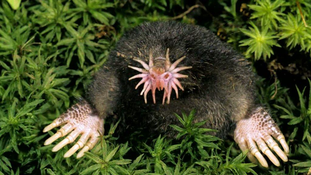starnosed-mole