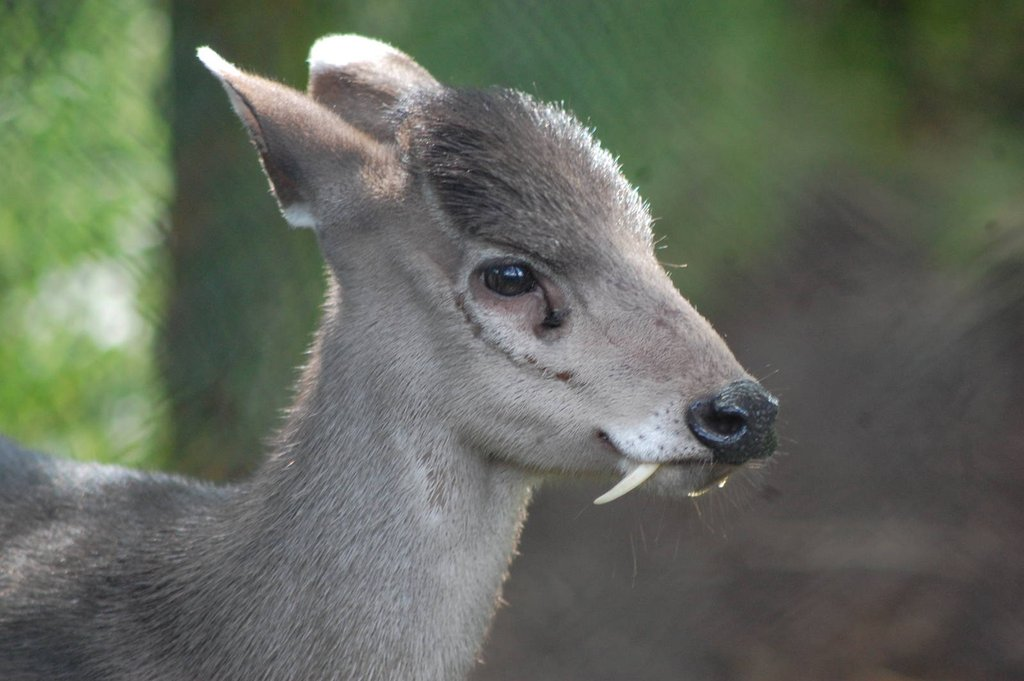 Unusual Animal - Tufted Deer