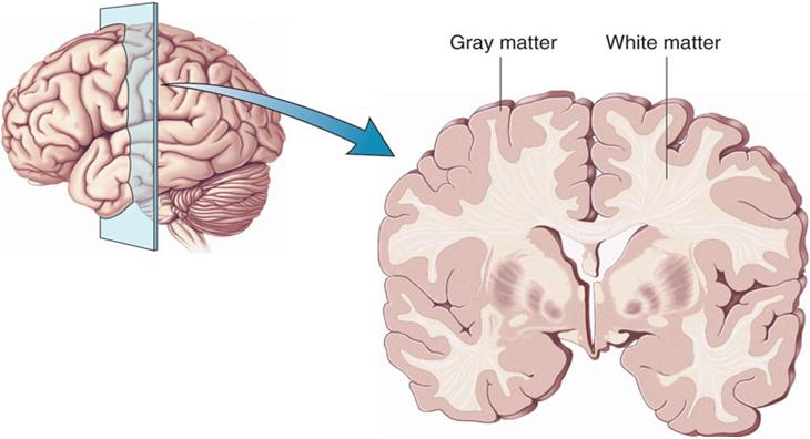 Brain_Cortex_Harvard Cannabis Prevents Brain Damage