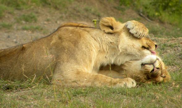 Cuddling-Lions