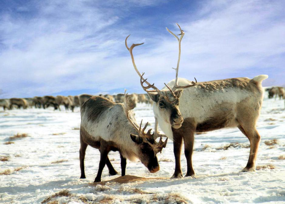 39_reindeer