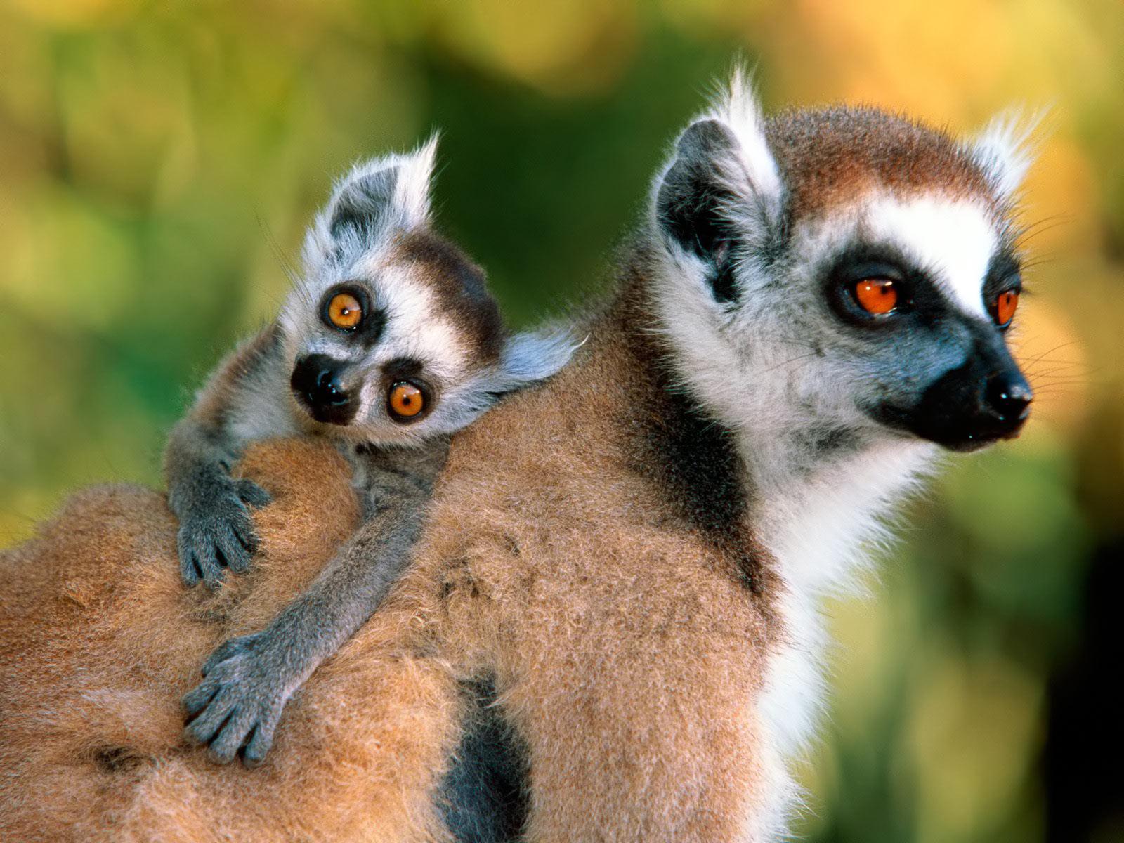 Lemurs_Indriidae