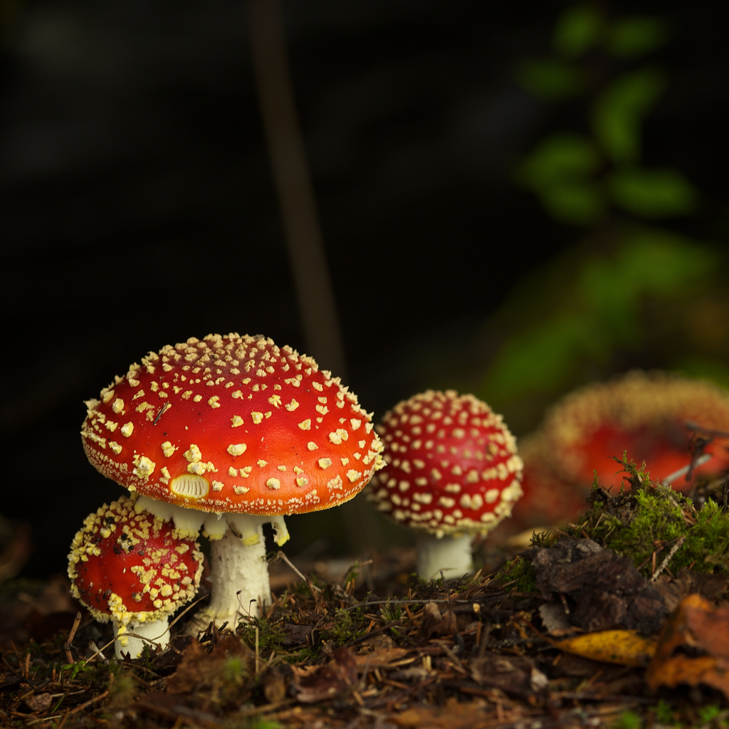 Psychedelics - Mushroom