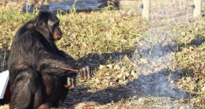 Bonobo Ape Starts a Fire with Matches to Roast Marshmallows (Video) | Third Monk image 2