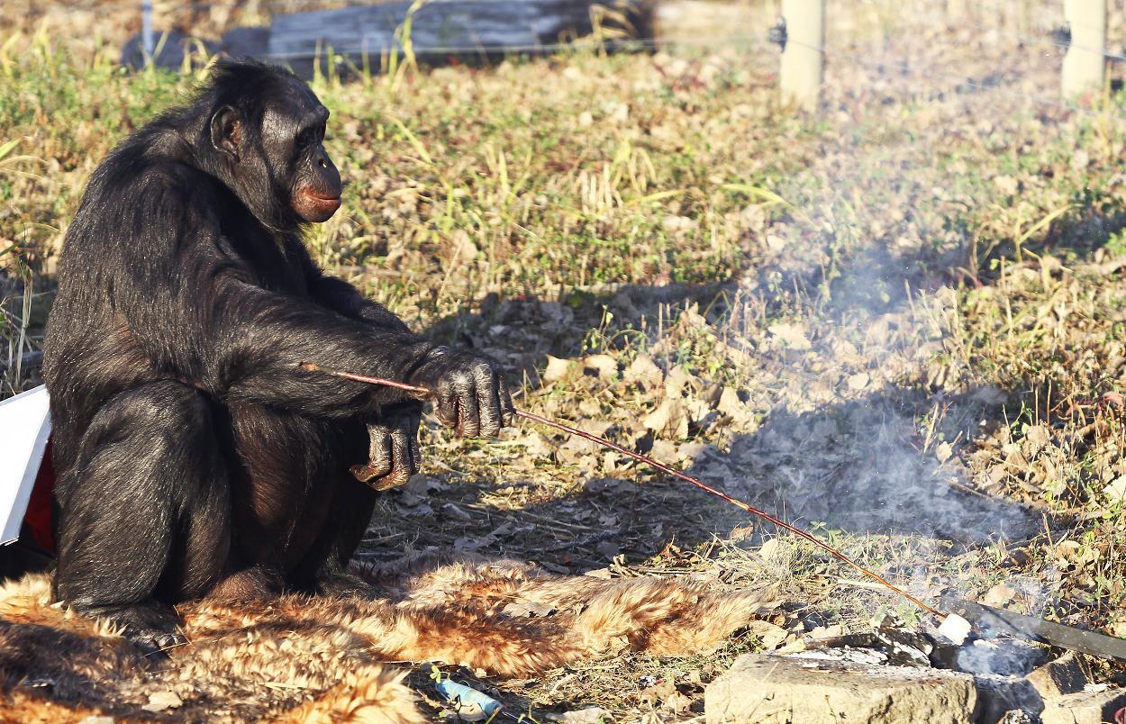 bonobo-kanzi-makes-campfires-1