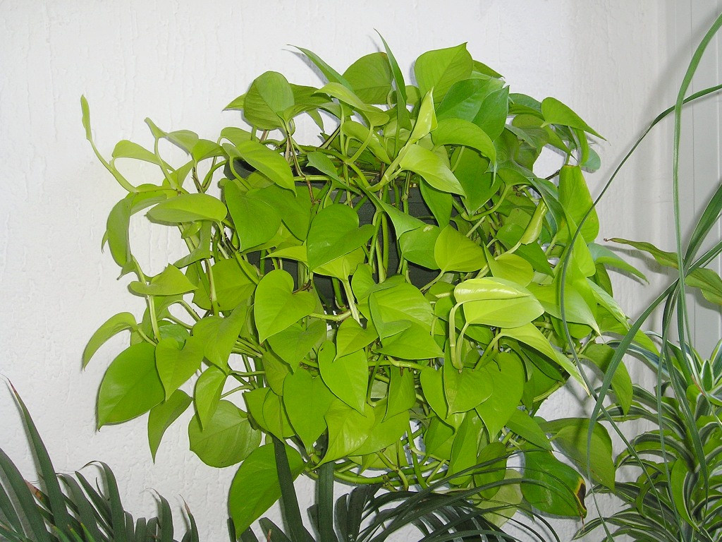 epipremnum Plants That Detox