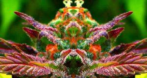 DEA Blasted for Spending 4 Decades Obstructing Marijuana Science  | Third Monk image 6