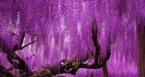 Ashikaga Flower Park: Home to the Most Beautiful Tree in the World (Ashikaga, Japan)  | Third Monk image 2