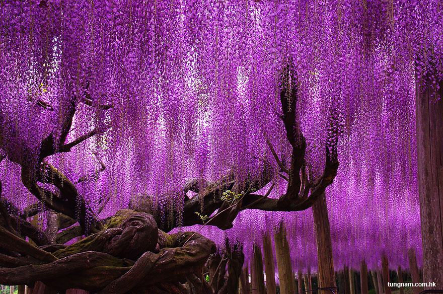 oldest-wisteria-tree-ashika Ashikaga Flower Park