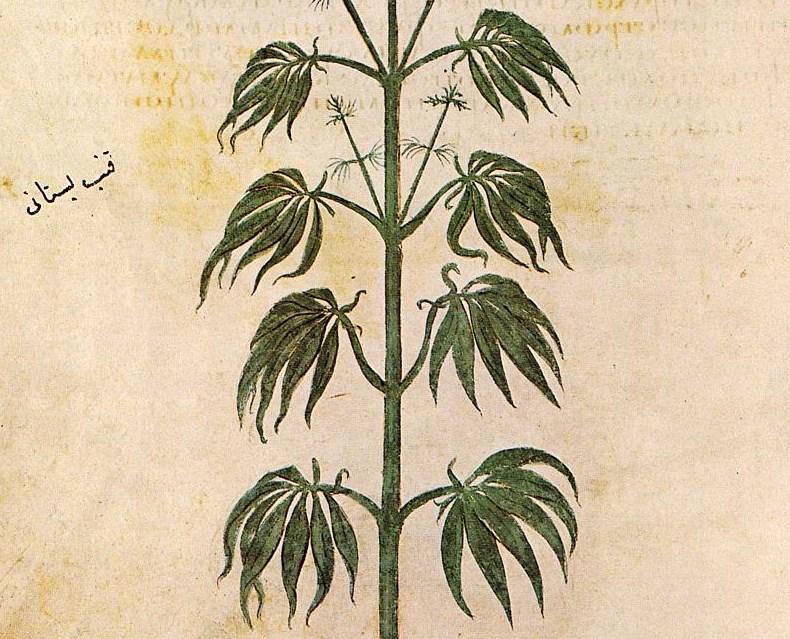 Cannabissativadior