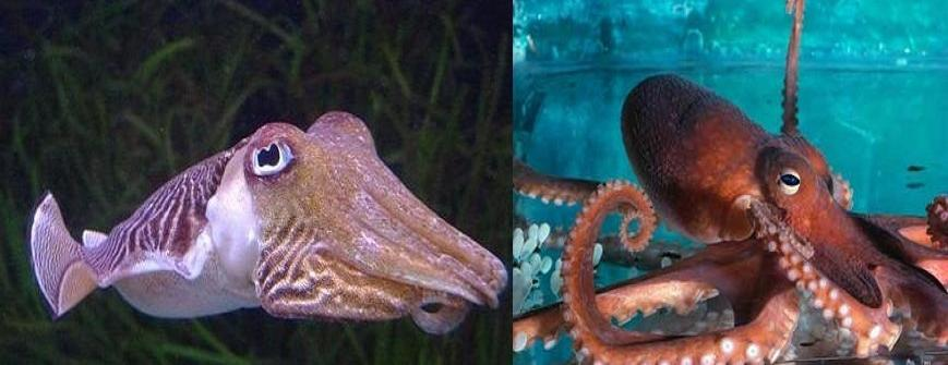 True Facts About The Octopus and CuttleFish - A Big Head With Three Hearts (Video) | Third Monk image 2