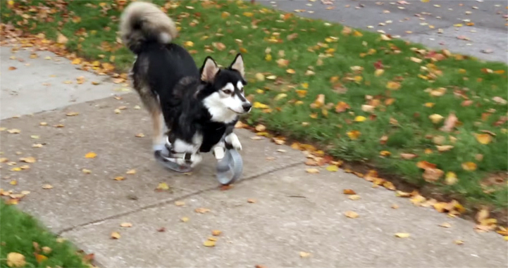 Derby-a-disabled-dog-runs-for-the-first-time-with-the-help-of-3D-printed-prosthetic-paws-1