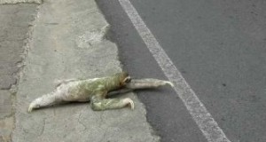 Sloth Crosses a Road in Costa Rica (Sloth Perspective) (Video) | Third Monk