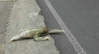 Sloth Crosses a Road in Costa Rica (Sloth Perspective) (Video)   Third Monk