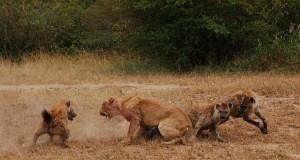 Eternal Enemies - Lions Vs Hyenas, National Geographic Documentary (Video) | Third Monk