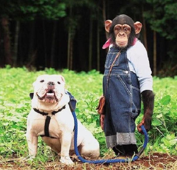 Monkey Vs Bulldog Situps Contest (Video)   Third Monk image 2