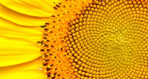 The Fibonacci Sequence: Nature by Numbers (Video) | Third Monk image 1