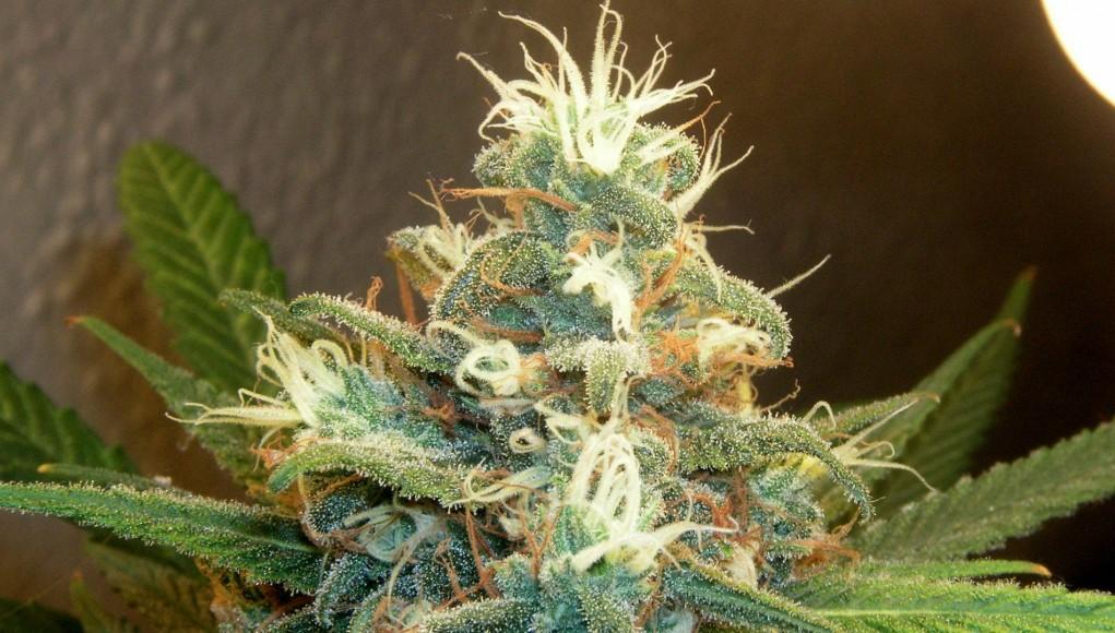 Kings of Cannabis, Strain Hunters - VICE Documentary | Third Monk
