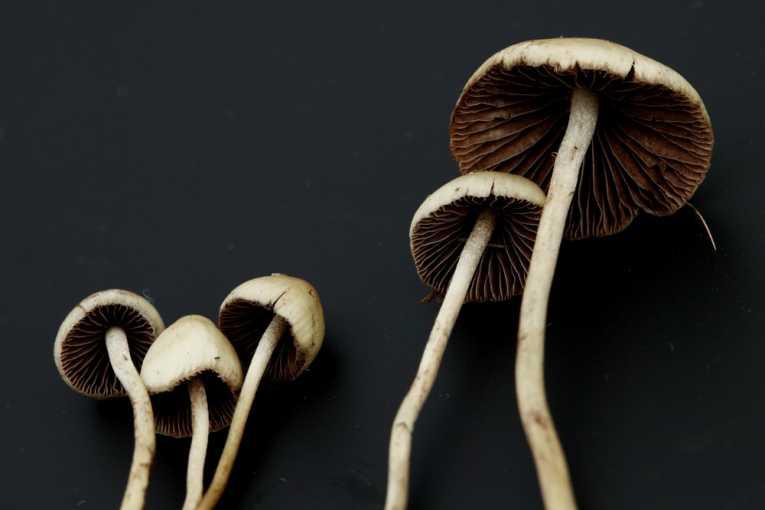 Psilocybin Mushrooms Help Erase Conditioned Fear in Lab Mice (Study) | Third Monk image 2