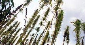 7 Ways Hemp Seeds Can Improve Your Health | Third Monk image 1