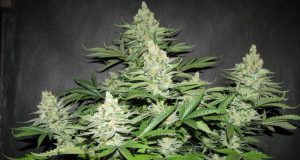 Most Potent Form of Medical Cannabis is the Whole Plant - The Entourage Effect (Video) | Third Monk image 1